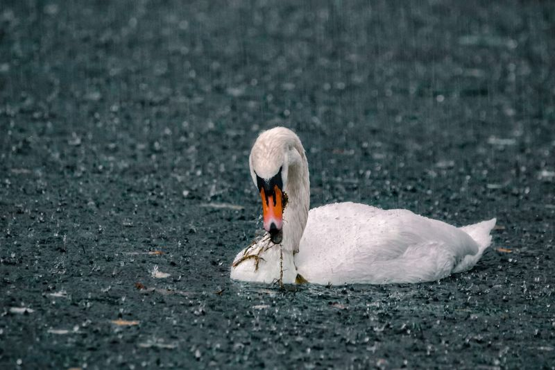 Rainy days EyeEm Best Shots EyeEm Nature Lover EyeEm Best Shots EyeEm Selects Animals In The Wild Animal Themes Animal Wildlife Animal Bird Day Water Swan Vertebrate One Animal Lake No People Nature Swimming Water Bird Outdoors High Angle View Waterfront Duck Floating On Water