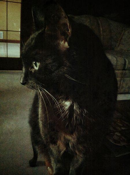 Cat Kitty Meow Black Cat