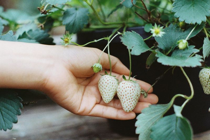 Cropped hand of woman holding strawberry plants