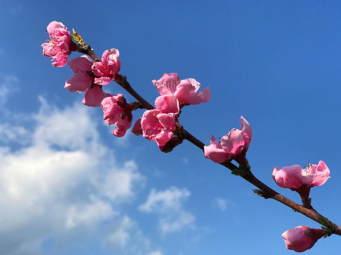 Peach flower Flower Plant Flowering Plant Pink Color Beauty In Nature Growth Fragility Vulnerability  Freshness Nature Blossom Tree Petal Springtime Branch Sky Inflorescence No People Flower Head Close-up