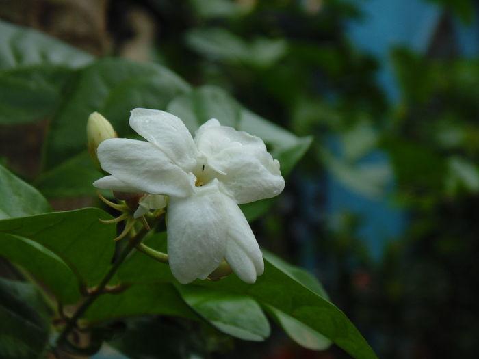 Melati,. Flower Fresh Beauty In Nature White Flower Close-up Petal Nature EyeEm Nature Lover