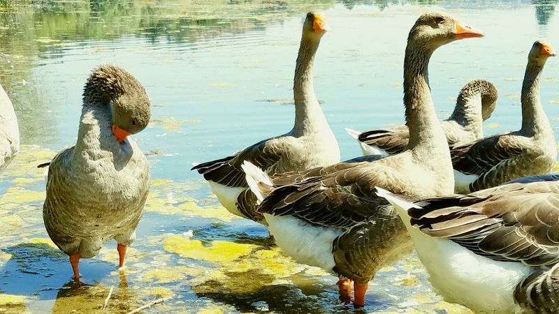 Water Bird Animals In The Wild Lake Animal Themes Reflection Animal Wildlife Nature No People Day Outdoors Swimming Beauty In Nature Geese Canadian Geese Group Togetherness Unafraid High Angle View Endearing Background Zen Copy Space Close-up Water Bird
