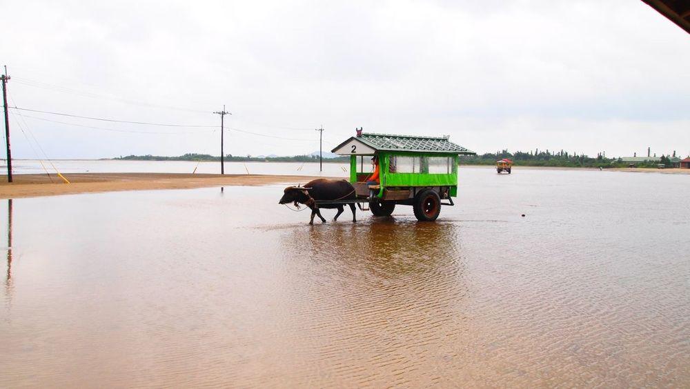 沖縄県 ( Okinawa )の 西表島 ( Iriomote Island )と 由布島 ( Yubujima )を結ぶ 水牛車 です