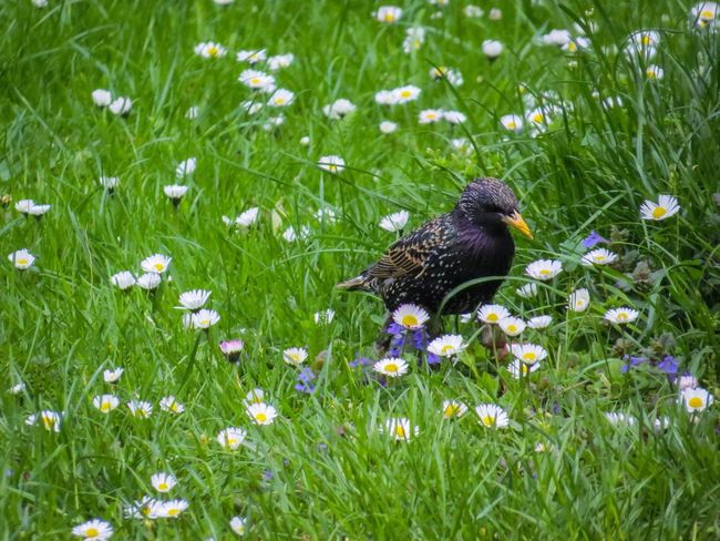 Spring Spring Springtime Starling Park Meadow Lawn Grass Daisy Daisy April May Wildlifeinthecity Wildlife In The City Bird