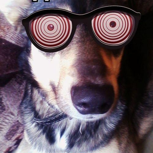 моя собака гипнозитёр