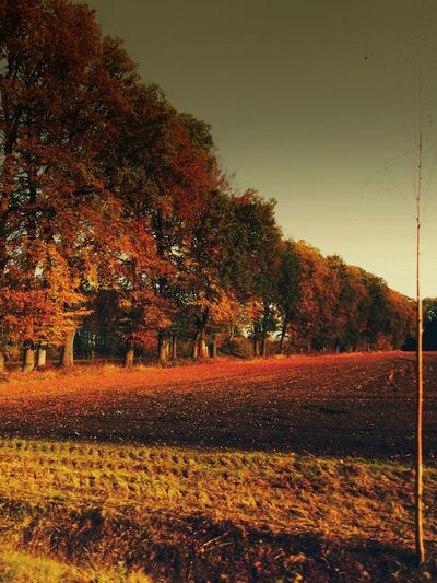 Trees against orange sky