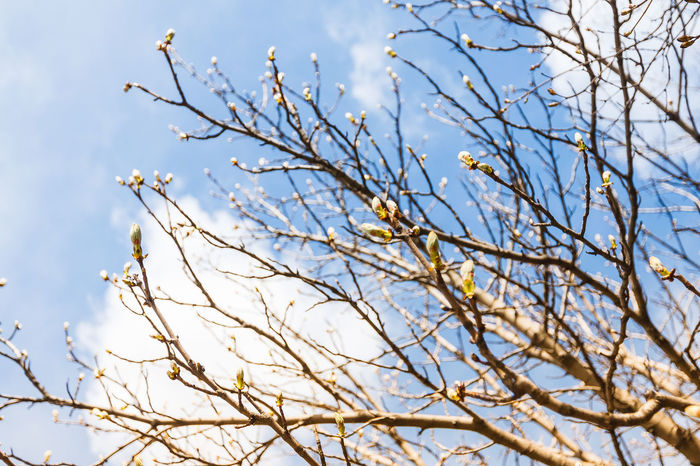 Spring, buds on branches against the blue sky Buds Bare Tree Beauty In Nature Blue Blue Sky Branch Growth Nature No People Outdoors Plant Sky Skyscraper Spring Springtime Tree White Color