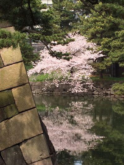 Imperial Palace Sakura☆cherry Blossam Sakura Blossom Sakura Trees Sakura2016 Sakura Stone Wall Pinus