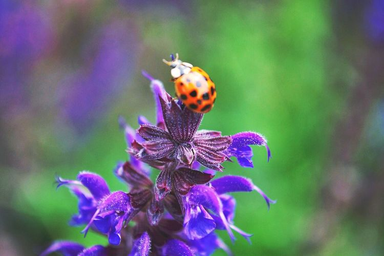 Close-up of ladybug on purple