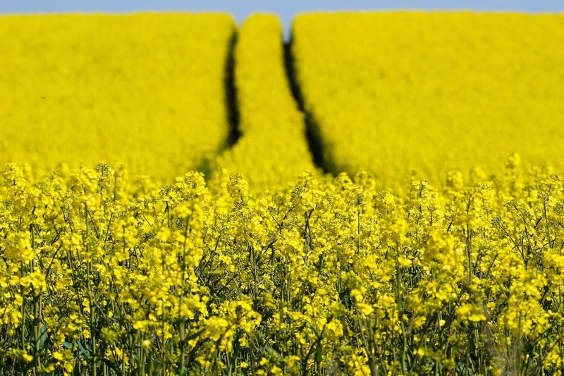 Rapsody Raps Rapsfeld Schleswig-Holstein Germany Flora Yellow Yellow Flower Spring Springtime