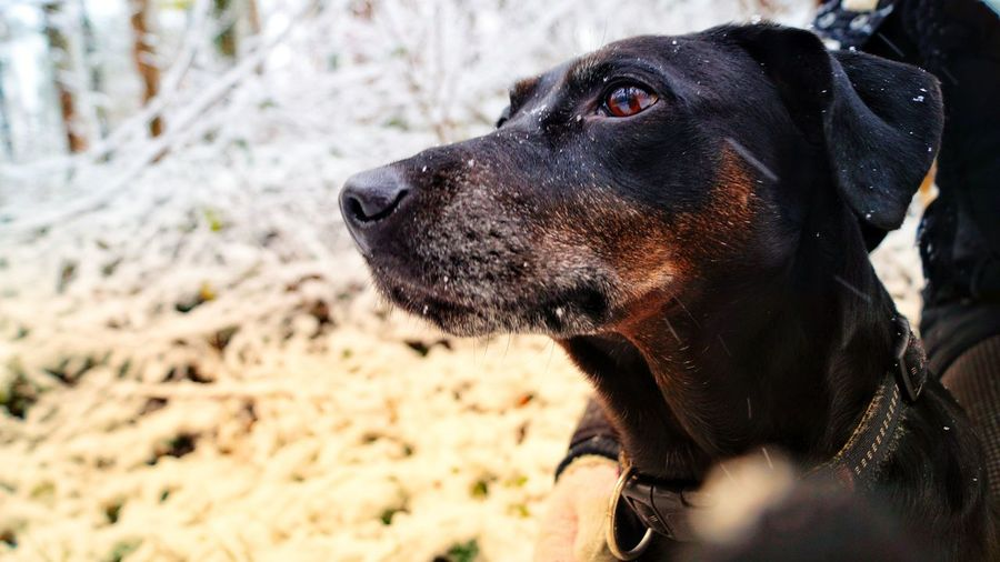 Daylight Saxonyanhalt Meineinundalles Snow Sonyalpha Pets Dog Close-up Animal Eye Animal Tongue Animal Mouth
