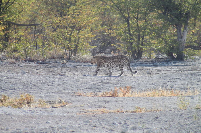 Etosha Etosha National Park Leppard Nationalpark Nature Outdoors Waterhole Waterhole In Etosha