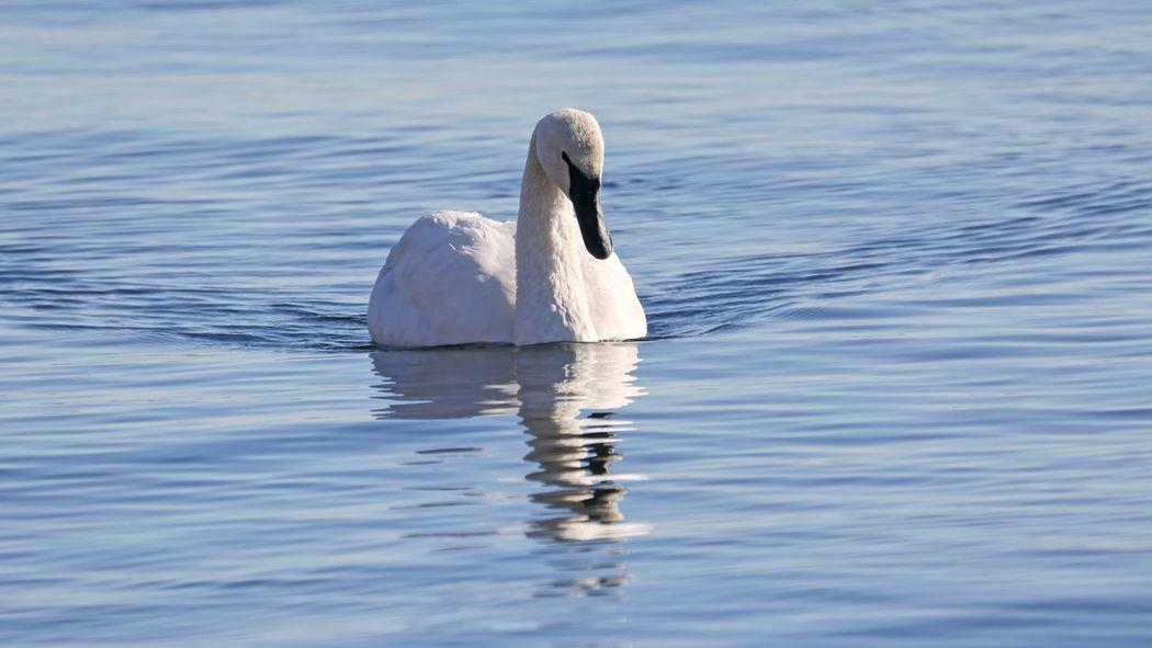 Trumpeter Swan EyeEm Best Shots EyeEm Nature Lover Animal Themes Animal Wildlife Animals In The Wild Bird Close-up Day Eye4photography  Lake Nature No People One Animal Outdoors Swan Swimming Trumpeter Swan Water Water Bird Waterfront White Color