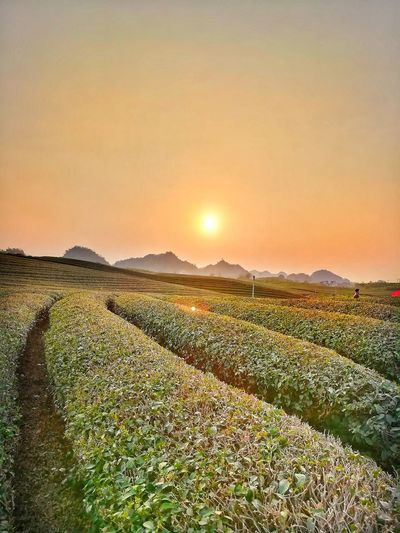 Sunset on tea field in Mộc Châu Ultralabapps Hill Mountain Countryside Landscape Nature Vietnam Mocchau Rural Scene Sunset Cereal Plant Backgrounds Agriculture Sunlight Beauty Field Summer Sun
