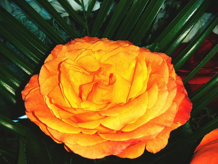 Flower Nature Growth Beauty In Nature Petal Plant Flower Head Fragility No People Freshness Close-up Outdoors Day Rose♥ Orang Flower Orange Freshness Rose - Flower Red Bouquet Roses Birthday Birthday Celebration Beauty In Nature Close Up