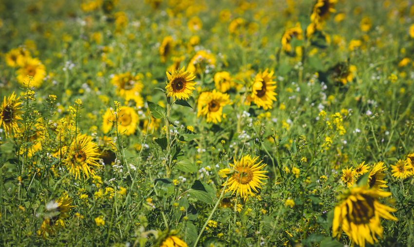Sun flower field Flower Flowering Plant Yellow Plant Freshness Beauty In Nature Fragility Field Growth Land Vulnerability  Flower Head Nature No People Petal Close-up Landscape Selective Focus Agriculture Environment Outdoors Springtime Sunflower Sun Flower Field