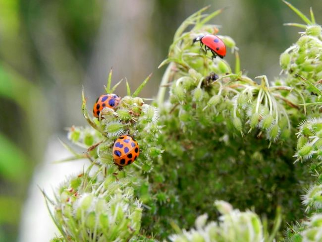 Ladybirds Plants Nature_collection Nature Photography Close Up