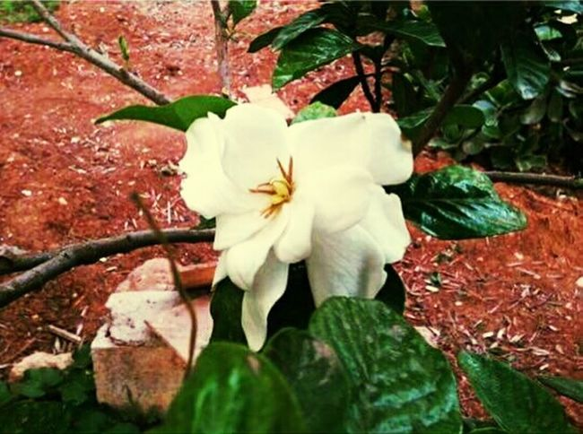 Gardenia Flower Flower White Color Flower Head Nature Single Flower Plant Petal Freshness Close-up