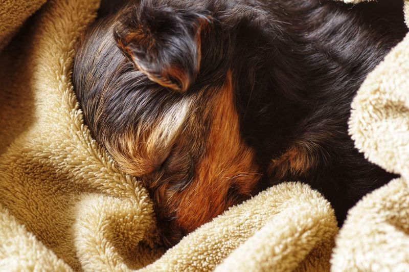Sleeping yorkie puppy. Puppy Face Puppy Animal Themes Animal Mammal Relaxation One Animal Vertebrate Domestic Animals Dog Canine Pets Domestic No People Animal Body Part Close-up Sleeping Indoors  Resting Comfortable Eyes Closed