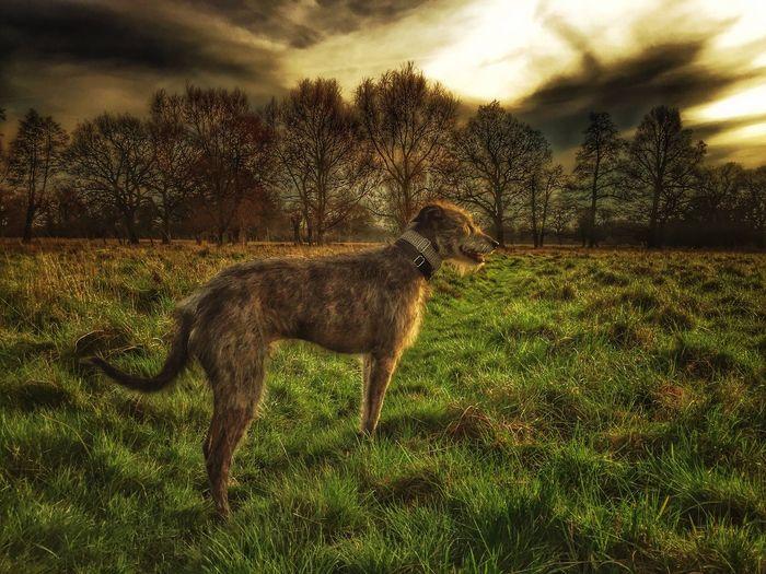 United Kingdom Sighthound Lurcher I Love My Dog ❤ LEO... The One Eyed Lurcher... Animal Portrait I Love My Dog Animal Photography Bushy Park