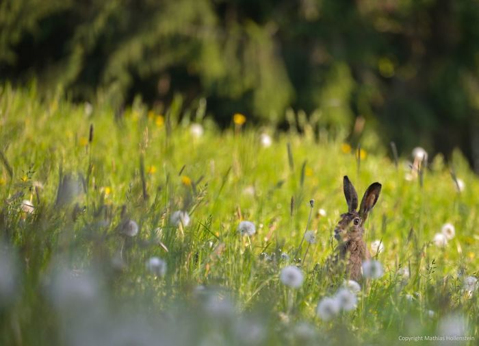 Wild rabbit i a meadow with flowers... Rabbit Rabbits Meadow Meadow Flowers Wild Wildlife Wildlife Photography Wild Animal Wild Animals Forrest Forrest Nature Beauty In Nature Nikon Nikonphotography Nikon_photography Nikon D610 Nikkor 80-400 The Great Outdoors - 2017 EyeEm Awards Pet Portraits
