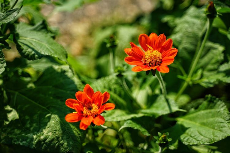 No People No Person Day Flower Head Flower Botanical Garden Multi Colored Beauty Nature Reserve Leaf Zinnia  Red Summer Flowering Plant Plant Part Tropical Flower In Bloom Blooming Plant Life Leaf Vegetable