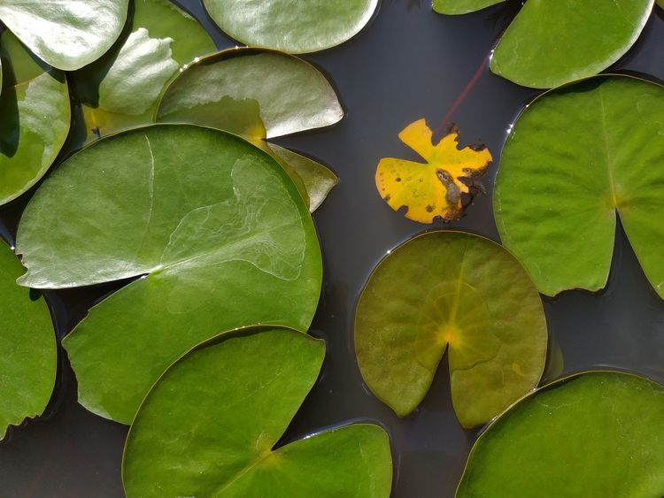 green floating Rotten Leaves Yellow Leaf Tropical Water Leaf Water Lily Close-up Green Color Plant Lily Pad Lotus Water Lily Plant Pod Lotus Floating On Water Lily Floating Water Plant Plant Part Pond