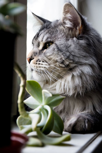 Mammal One Animal Cat Feline Animal Themes Domestic Animals Pets Animal Domestic Domestic Cat Vertebrate Leaf Plant Part Close-up No People Whisker Selective Focus Looking Sitting Plant Maine Coon Cat