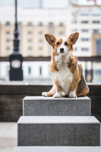 Corgi sitting on stairs next to river Themse London Looking At Camera Pet Portraits Sitting Animal Animal Themes City Details Corgi Dog Dog Portrait Domestic Animals Focus On Foreground Looking No People One Animal Pets