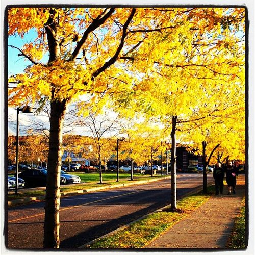 Yellow Canopy Sidewalk. #btv #vt Foliage Igharjit Iphoneonly Vermontbyvermonters Photooftheday Vt_scene Picoftheday Vermont_scene Vermont Igvermont All_shots Igvt Instamood Vt_landscape Bestoftheday Vermont_foliage Vt_foliage Instagood Webstagram Vt Yellow_leaves Btv Vt_scenery Sunset Vermont_scenery 802