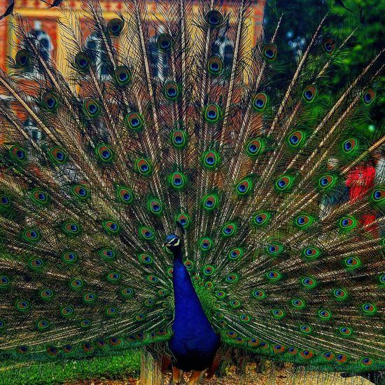 Animal Photography Colorfull Flower Bird Photography Natural Beauty Paon Feathers Colorful
