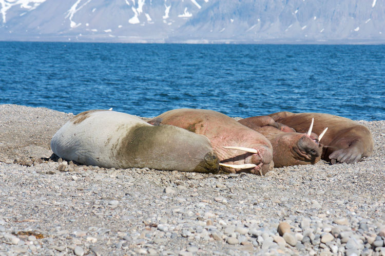 Beach Photography Global Warming Animal Themes Animals In The Wild Beach Beauty In Nature Climate Change Close-up Day Environmental Conservation Lying Down Mammal Nature No People Outdoors Sea Sky Svalbard  Walrus Walrus Asleep Water
