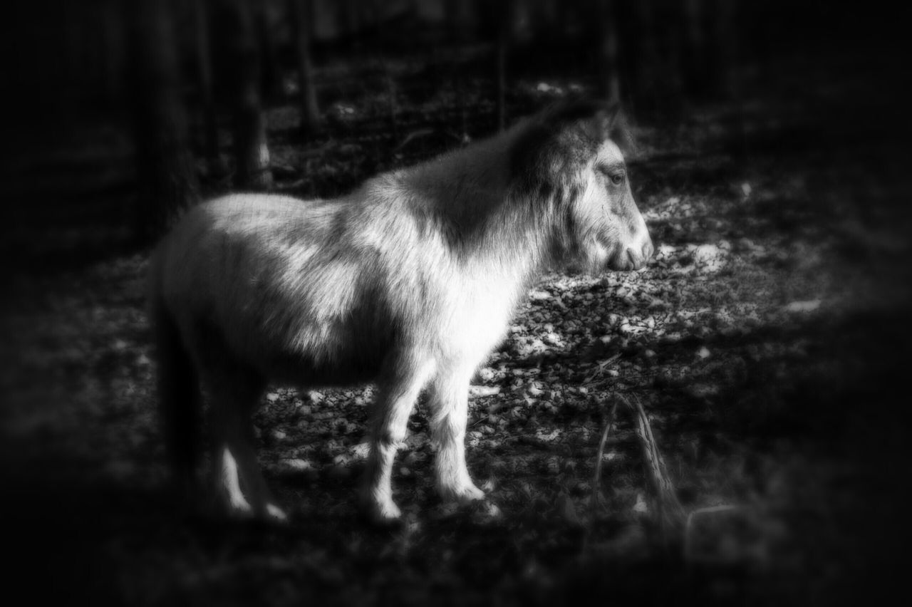 animal themes, domestic animals, one animal, mammal, side view, no people, livestock, day, standing, outdoors, pets, full length, nature