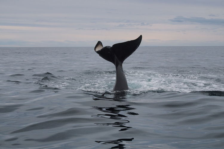 Orca waving with its tail fin against sky