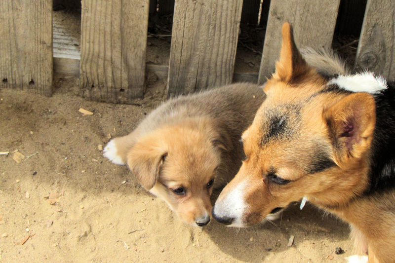 Mommy and baby corgi playing outside
