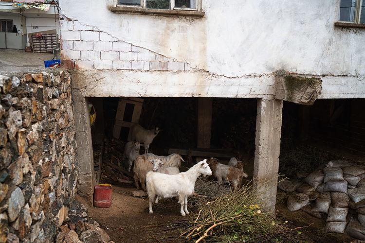 Goat Land Iznik