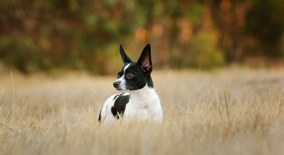Chihuahua dog standing in field One Animal No People Field Plant Day Looking Away Pets Domestic Dog Animal Canine Chihuahua Animal Themes Purebred Dog