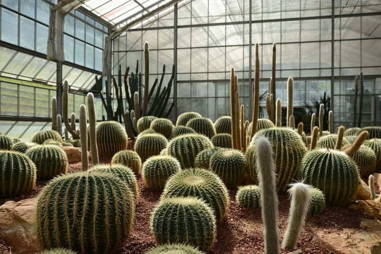 Cactuses Growing At Plant Nursery