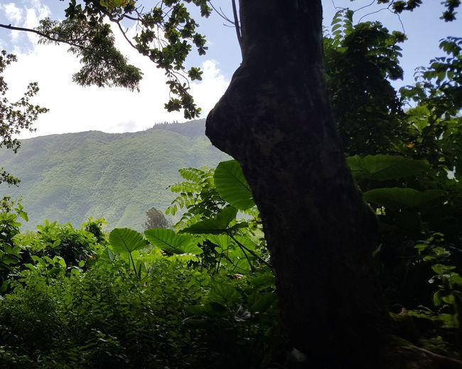 Waipio Valley  Big Island Tree Tree Trunk Branch Forest Mountain Rural Scene Leaf Tea Crop Sky Lush - Description Needle - Plant Part Growing In Bloom Green Pine Tree Apple Blossom Pinaceae