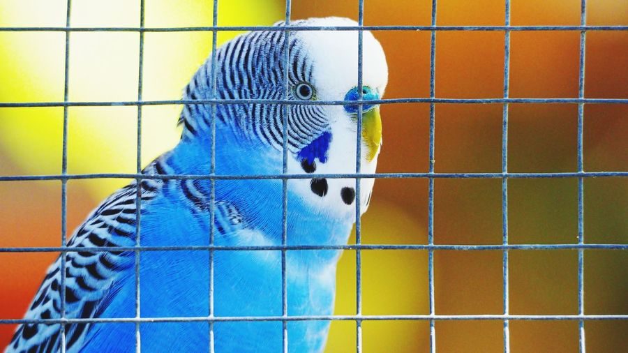 Close-up of parrot in cage