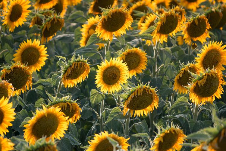 Full frame shot of sunflowers on field