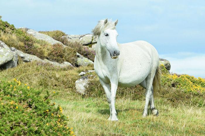 Dartmoor Pony Honeybag Tor Chinkwell Tor Bell Tor Dartmoor South Hams Devon Dartmoor National Park Pony