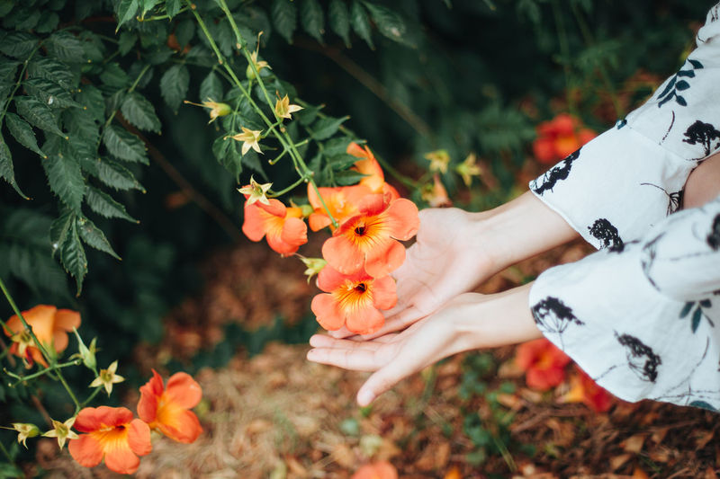 Midsection of person holding orange flowering plant