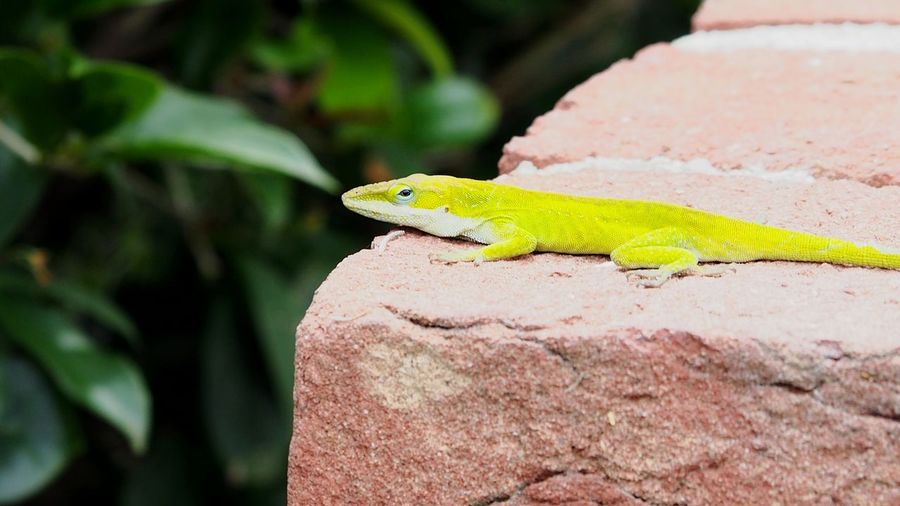 gecko lizard on a brick wall Bradleywarren Photography Bradley Olson Room For Text Room For Copy Copy Space Copyspace Backgrounds Background Reptile Animal Animal Themes South Carolina Tourism Tourist Iguana Tree Reptile Camouflage Lizard Tropical Climate Chameleon Tail Close-up Gecko Leg Animal Eye Animal Skin Animal Scale Yellow Eyes Eye