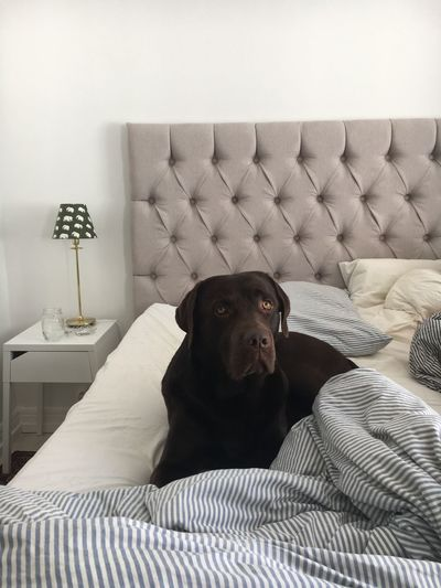 Morning Cuddles Pets Morning Light Dog In Bed Labrador Brown Labrador  Dog Domestic Animals One Animal Indoors  Animal Themes Home Interior Mammal Brown Dog Bed Pillow Cushion Cozy Comfortable Bedroom Living Room Relaxation Big Dog No People Home Showcase Interior