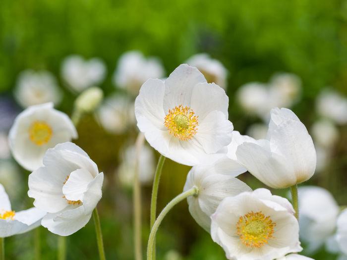 Blumen Anemonen
