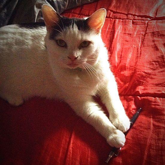 Stealing My Pen Cat Cute Cats Pets IPadography Katze Kitty Love Ilovemycat Artistscats Animal Photography