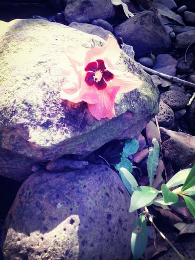 Pretty Flower In A River At Keokea