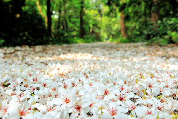 Quiet forest, floating under the white tung flowers, covered with country roads. Country Road Falling Natural Beauty In Nature Blooming Close-up Day Falling Flowers Flora Flower Flower Head Forest Fragility Fresh Freshness Growth Nature No People Outdoors Petal Plant Plant Flowers Spring Tung Blossom White Flowers