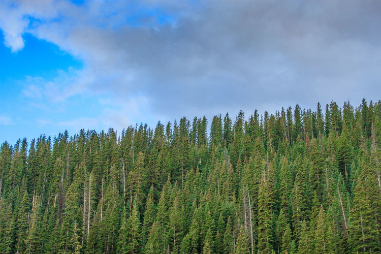 Colorado Woodland Colorado Green Pine WoodLand Beauty In Nature Cloud - Sky Clouds Day Dense Fir Fir Trees Forest Growth Landscape Nature No People Outdoors Pine Woodland Scenics Sky Tranquility Tree